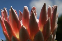 b_213_142_16777215_00_images_existing_pics_number_3_King-protea_2750.jpg